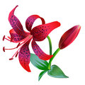 Realistic illustration of red tiger lily isolated on white background. Royalty Free Stock Photo