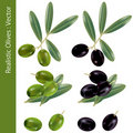 Realistic olives Royalty Free Stock Photography