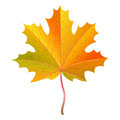 Realistic orange maple leaf with water drops. Autumn vector Royalty Free Stock Photo