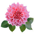 Realistic pink chrysanthemum flower with four leaves. Royalty Free Stock Photo