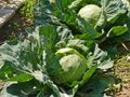 Reaping cabbage planst  in a kitchen garden Royalty Free Stock Photo