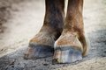 Rear hooves horse detail of Royalty Free Stock Image