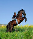 Rearing stallion Royalty Free Stock Image