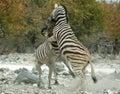 Rearing zebra Royalty Free Stock Photo