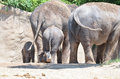 Rearview a rear view of four asian elephants Stock Photography
