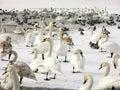 Rebanho das cisnes e dos patos Fotografia de Stock Royalty Free