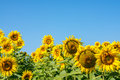Rebellious colorful, beautiful sunflower heads in warm summer day Royalty Free Stock Photo