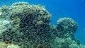 Recife coral com os peixes de vidro no Mar Vermelho Foto de Stock