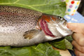 Recognize fresh trout to the gills close up cut a raw rainbow blurred background Stock Photo