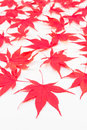 Red acer leaves on white background maple lying a Stock Photos