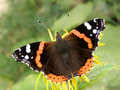 Red admiral Royalty Free Stock Photo
