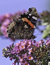 Red admiral butterfly closeup side view of a on a bush Royalty Free Stock Photo