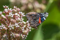 Red admiral butterfly feeding on nectar from a milkweed flower Royalty Free Stock Photography
