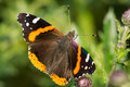 Red admiral butterfly perched on a thistle flower collecting nectar Stock Photos