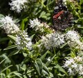 White Hebe Flower With A Red Admiral Butterfly