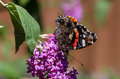 Red admiral butterfly sunning itself on a plant pink buddleia with wings closed Stock Photography