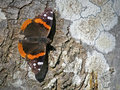 Red admiral butterfly on a tree Stock Photography