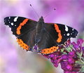 Red Admiral Butterfly (Vanessa atalanta) Stock Photos