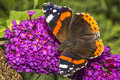 Red admiral butterfly vanessa atalanta on a purple summer lilac buddleja davidii Stock Photography