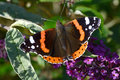 Red admiral butterly on flowers Royalty Free Stock Photo