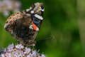 Red admiral feeding on nectar Royalty Free Stock Images