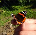 Red admiral poland vanessa atalanta resting on my finger Stock Images
