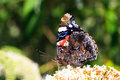 The red admiral vanessa atalanta on summer lilac buddleja davidii in netherlands Royalty Free Stock Photos