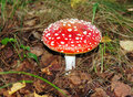 Red agaric in the forest close up Royalty Free Stock Photo