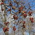 The red alder catkins.