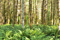 Red Alders and ferns,Quinault Temperate Rainforest Stock Photos