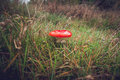 Red Amanita Muscaria fungus on a field Royalty Free Stock Photo