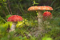 Red Amanita in the woods Stock Photography