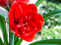 Red amaryllis flower blooming in garden Stock Photo