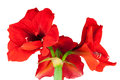 Red amaryllis isolated against white background Royalty Free Stock Images