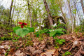 Red amongst white trilliums a trillium erectum growing trillium grandiflorum on the forest floor low angle view Stock Photo