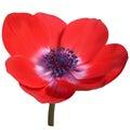 Red anemone flower