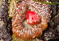 Red anemone and orange at low tide oregon coast Stock Images