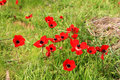 Red anemones, Israel Royalty Free Stock Photo