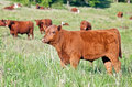 Red Angus Bull Calf