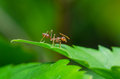Red ant on green leave scientific name is oecophylla smaragdina Royalty Free Stock Photography