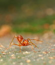 Red ant on leaf Stock Images