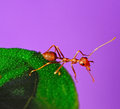 Red ant on leaf with purple and background Royalty Free Stock Photos