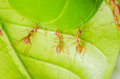 Red ant teamwork building home on green leaf Royalty Free Stock Photography