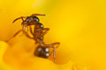 Red ant on a yellow flower Royalty Free Stock Photo