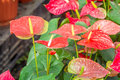 Red Anthurium flower Royalty Free Stock Photo
