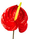 Red anthurium isolated white flower on background is a large genus of about species of flowering plants belonging to the Stock Photos