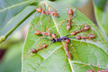 Red ants attacking a insect on leaf fly Stock Images