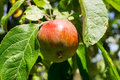 Red apple on a branch of apple tree on a sunny day. Organic farming/agriculture Royalty Free Stock Photo
