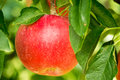 Red Apple growing on an Apple Tree Royalty Free Stock Photo