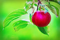 Red apple ripe hanging on the branch in the orchard Royalty Free Stock Photos